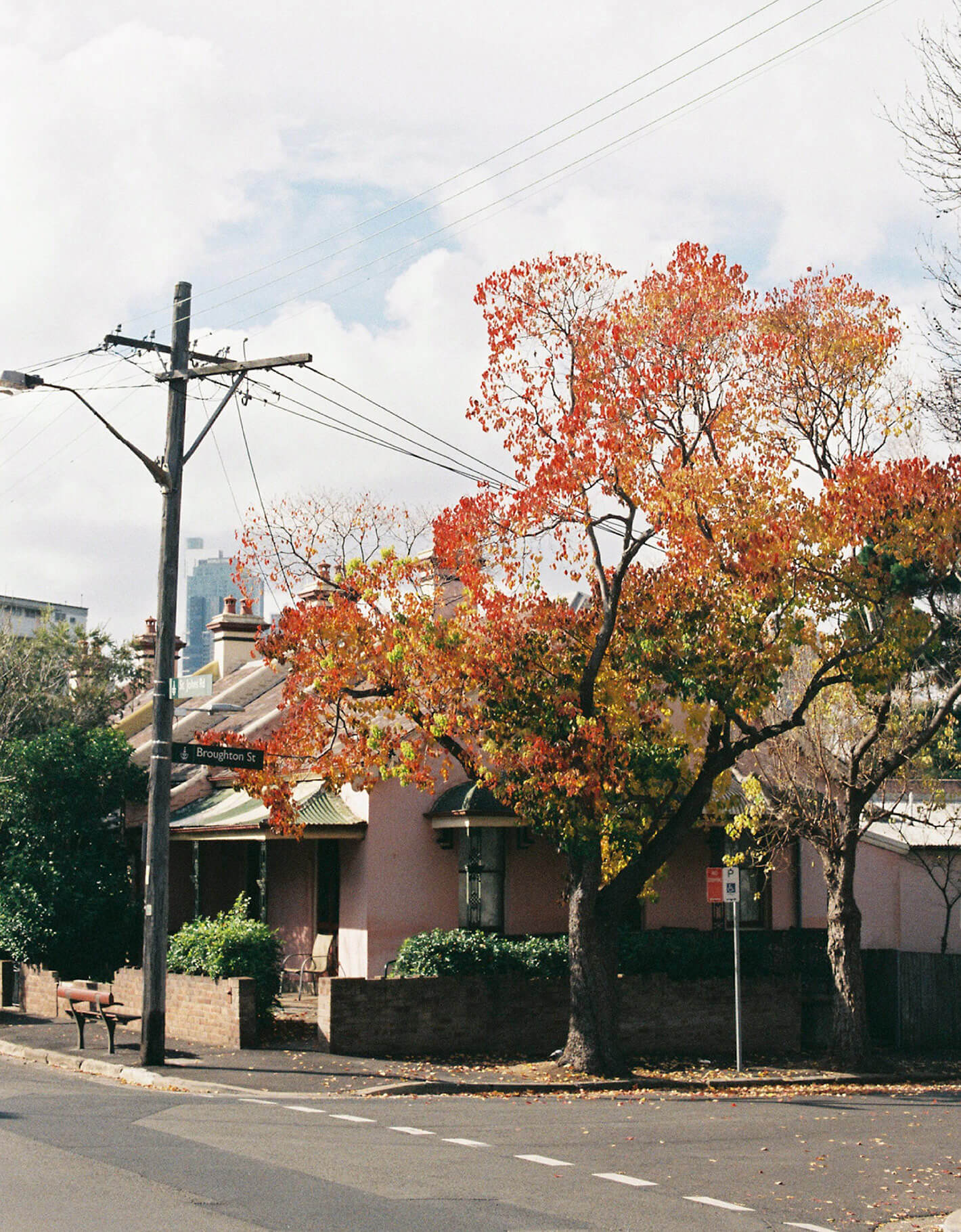 Flame tree blooming on Sydney street with delicate film photography grain