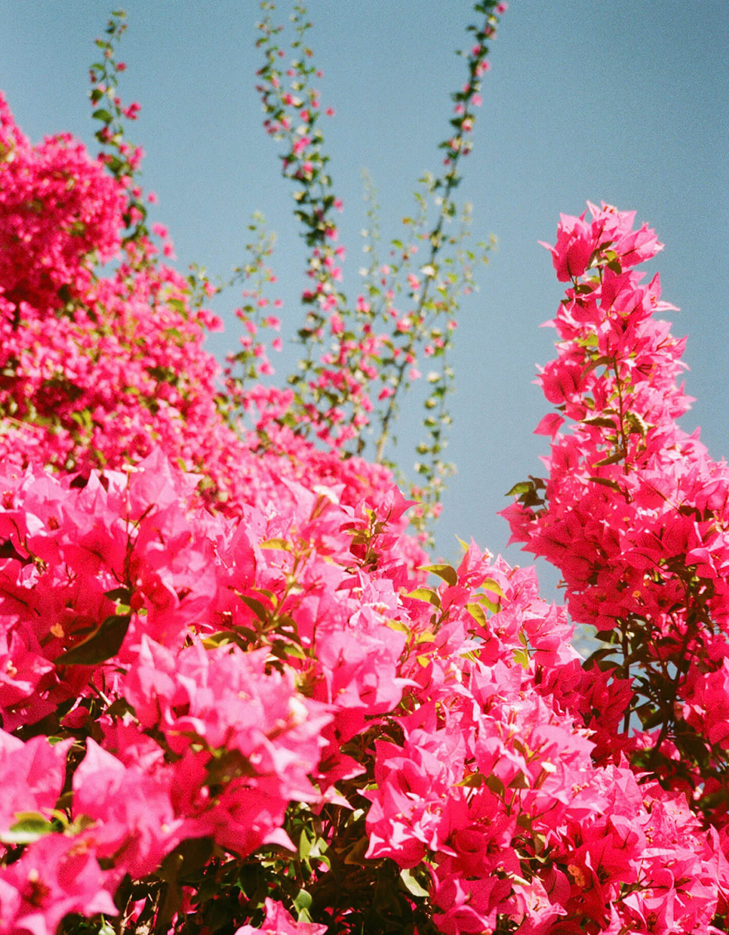 Grainy film photograph of bright pink bougainvillea by elderflower ephemera