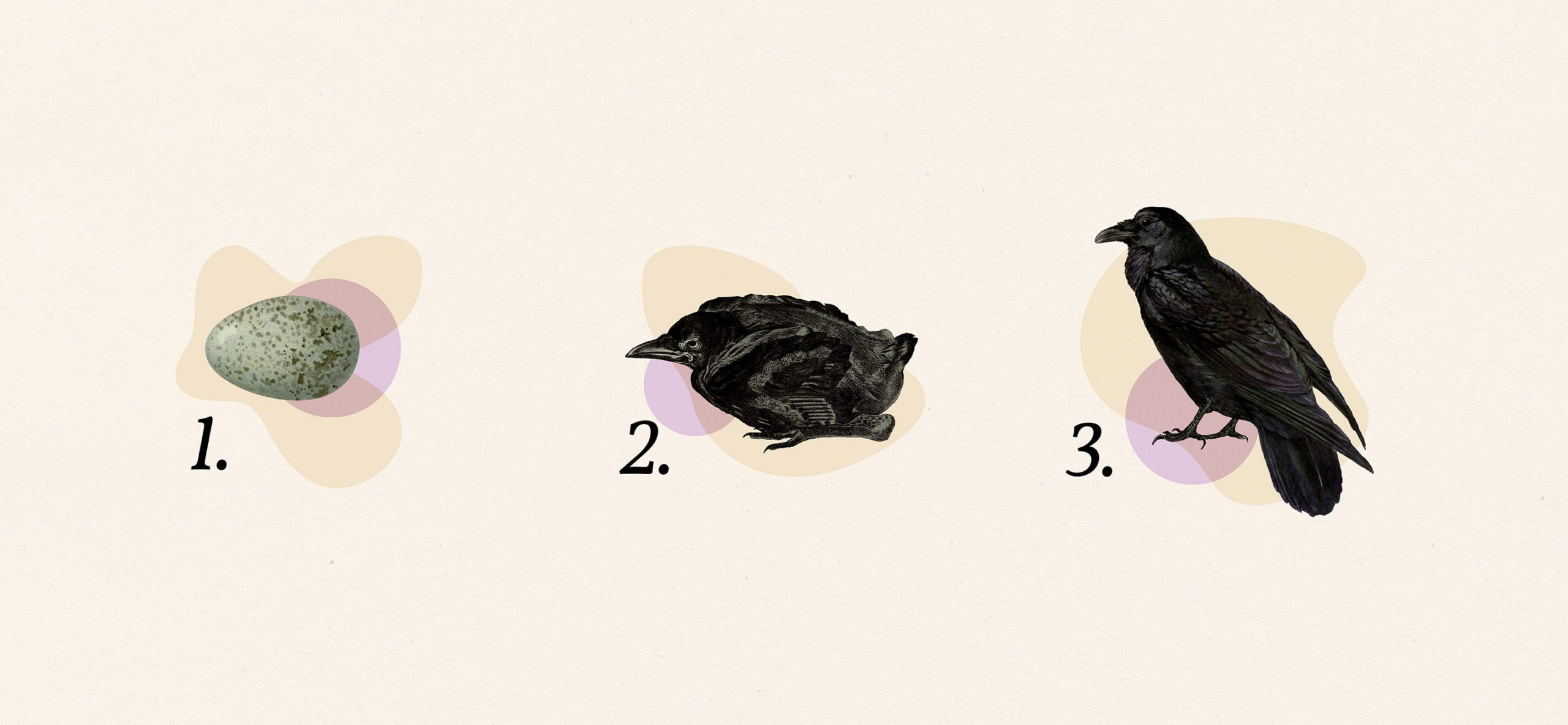 vintage illustrations used to create a 1-2-3 process graphic showing an egg, a hatchling and a raven